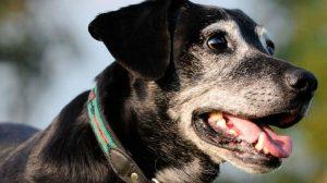 Envelhecimento animal: sintomas e cuidados
