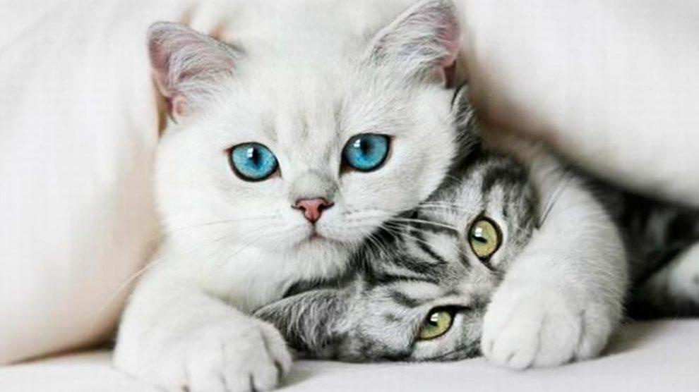 Toxoplasmose – Saiba mais sobre essa doença associada aos gatos