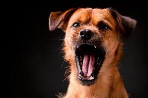 Seu cachorro late muito? Saiba por que ele faz isso.