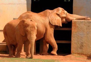 Elefante Babu morre aos 25 anos