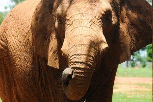 Equipe do zoológico acompanha elefanta Belinha 24 horas por dia